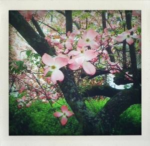 "Flowering tree on Market Street"""
