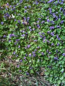 """""""violets"""""""
