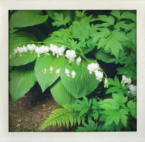 """White Bleeding Hearts"""