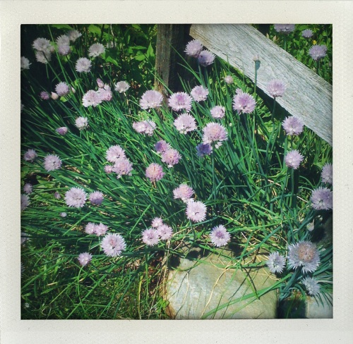 """chive blossoms"""
