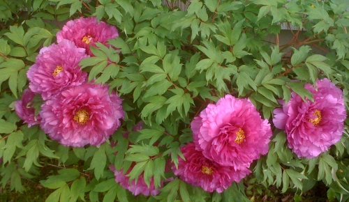 """Grammy Thompson's tree peony"""