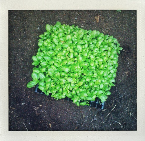 Basil plugs ready to plant in spring