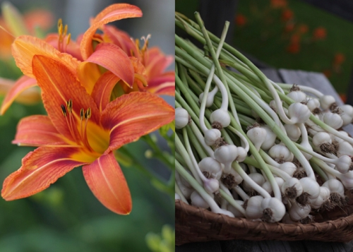 Midsummer harvest - garlic and lilies