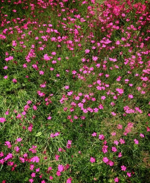 Pink field flowers