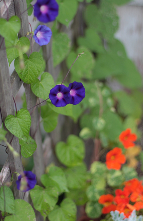 Morning Glories and Nastursium