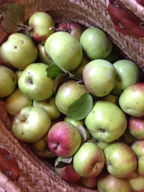 Basket of apples from a neighbor's trees