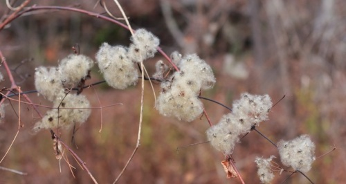 Fall fluff seen along a walk