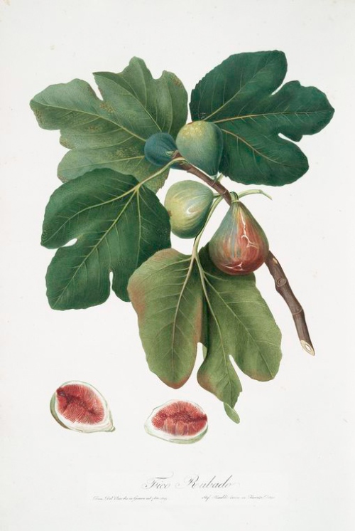 Common fig from the New York Public Library