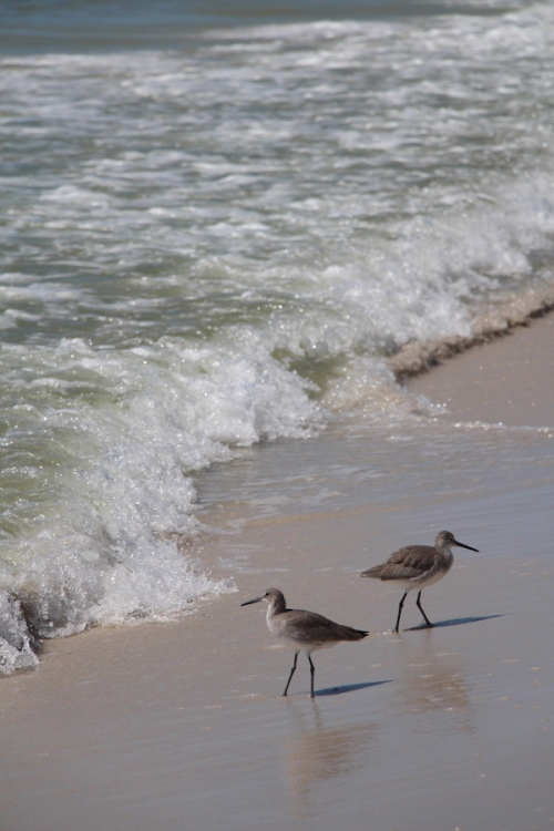 Sand Pipers on Tyndall AFB beach
