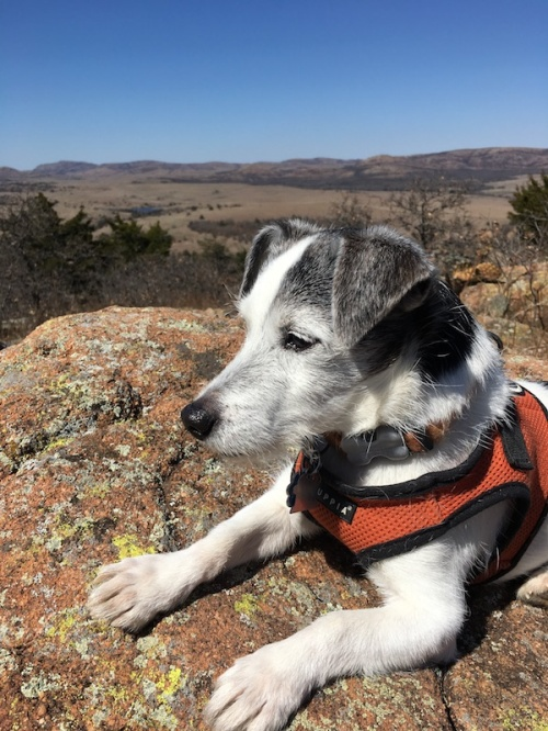 Oliver the Jack Russell Terrier in the Wichita Mountains of Oklahoma