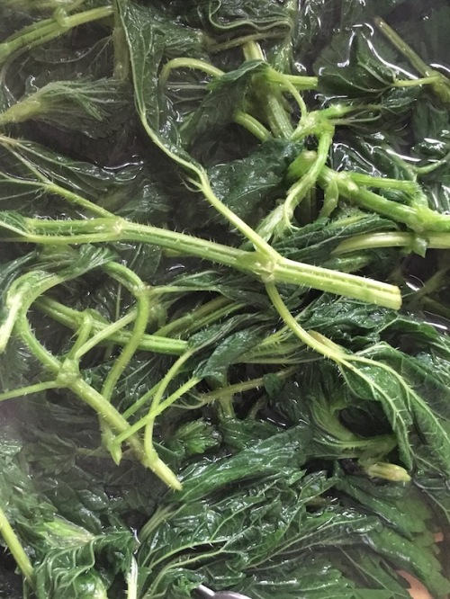 Par-boiled early spring stinging nettles now safe to cut and add to food