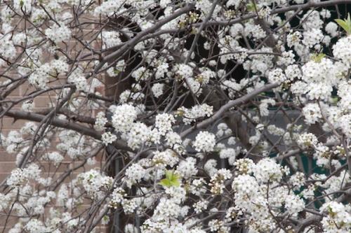 Spring buds in Oklahoma City