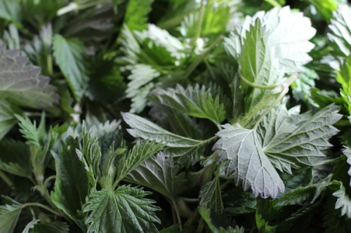 Stinging nettles ready to cook