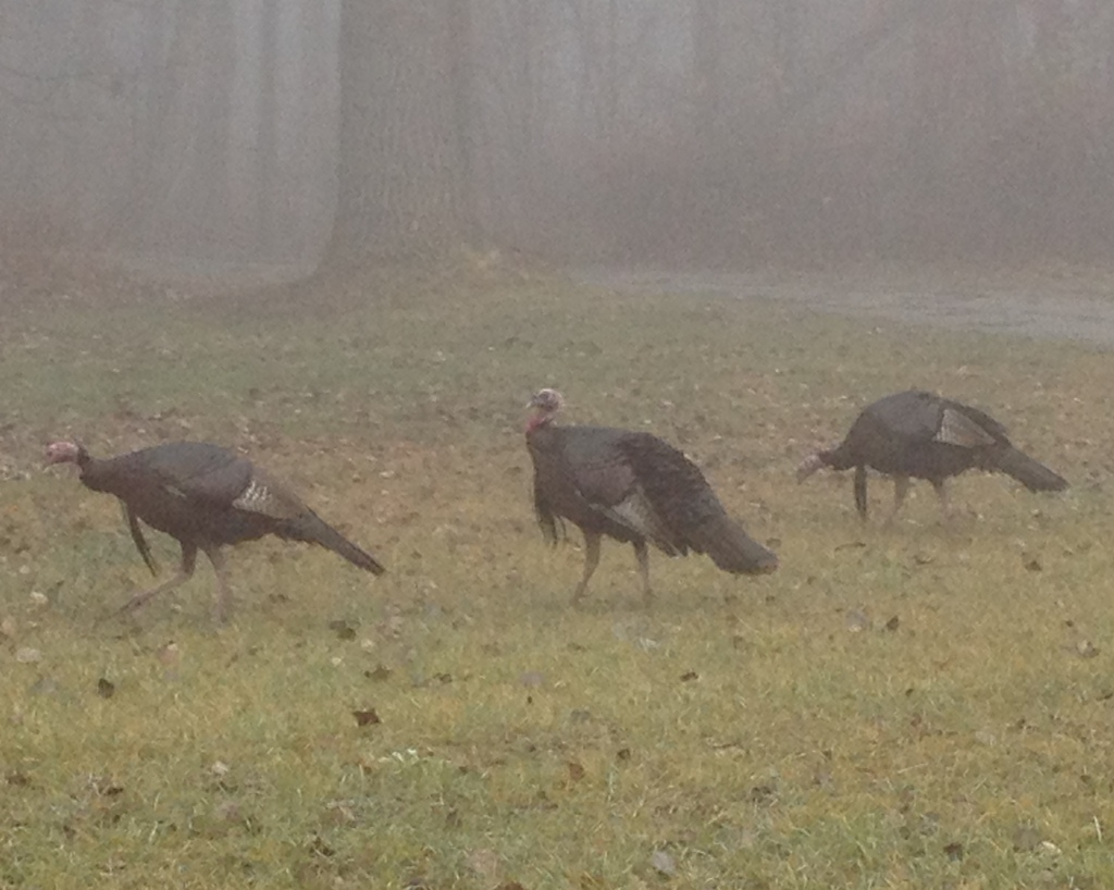 Wild turkeys who will not be eaten for Thanksgiving.