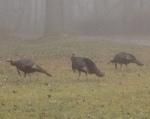 Wild Turkies